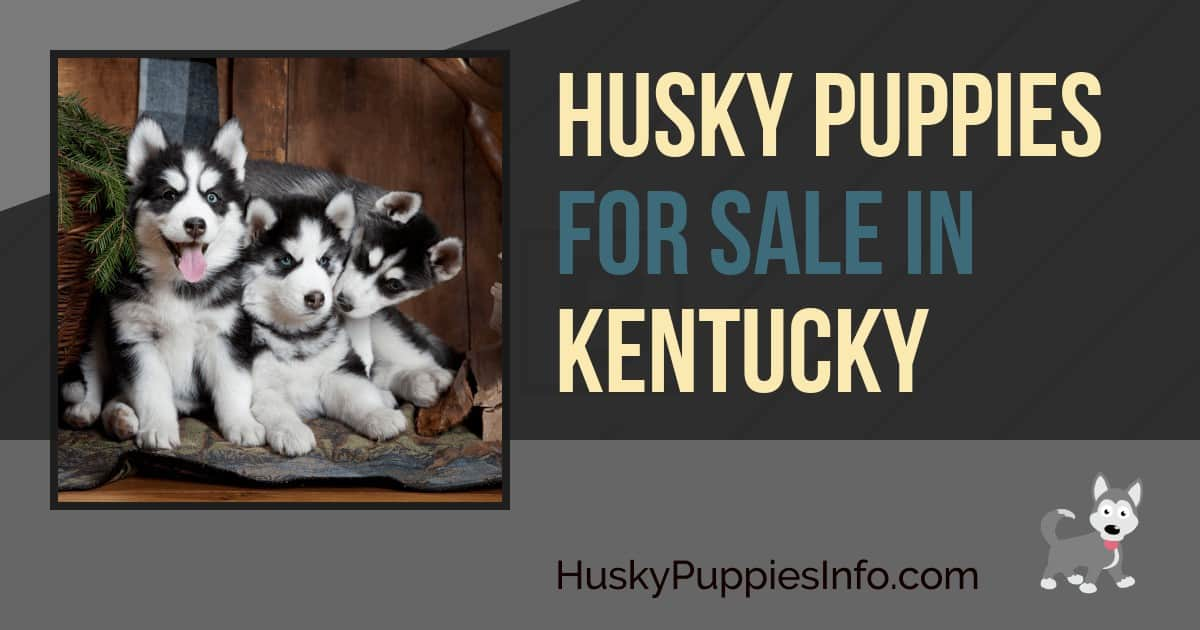Siberian Husky Puppies For Sale In Kentucky