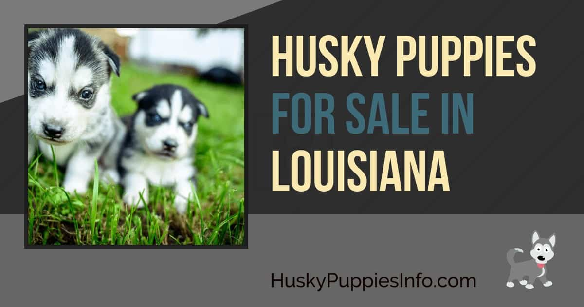 Siberian Husky Puppies For Sale In Louisiana