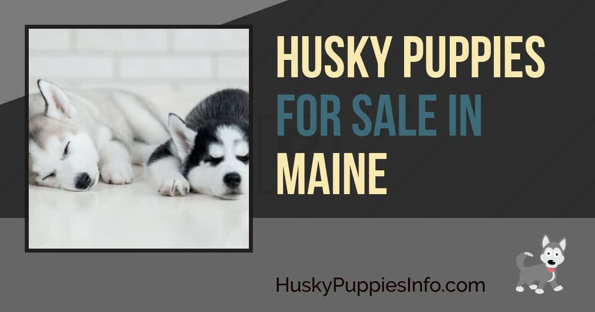 Siberian Husky Puppies For Sale In Maine