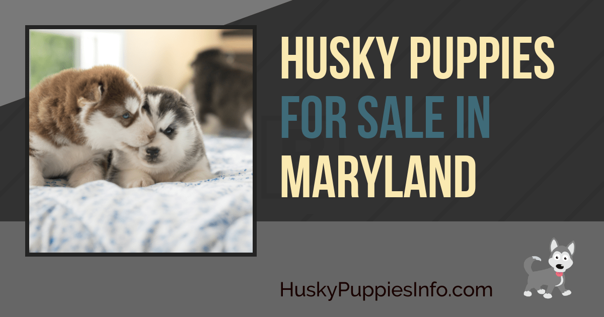 Siberian Husky Puppies For Sale In Maryland