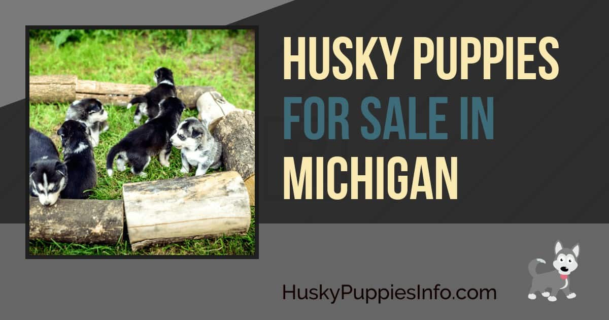 Siberian Husky Puppies For Sale In Michigan