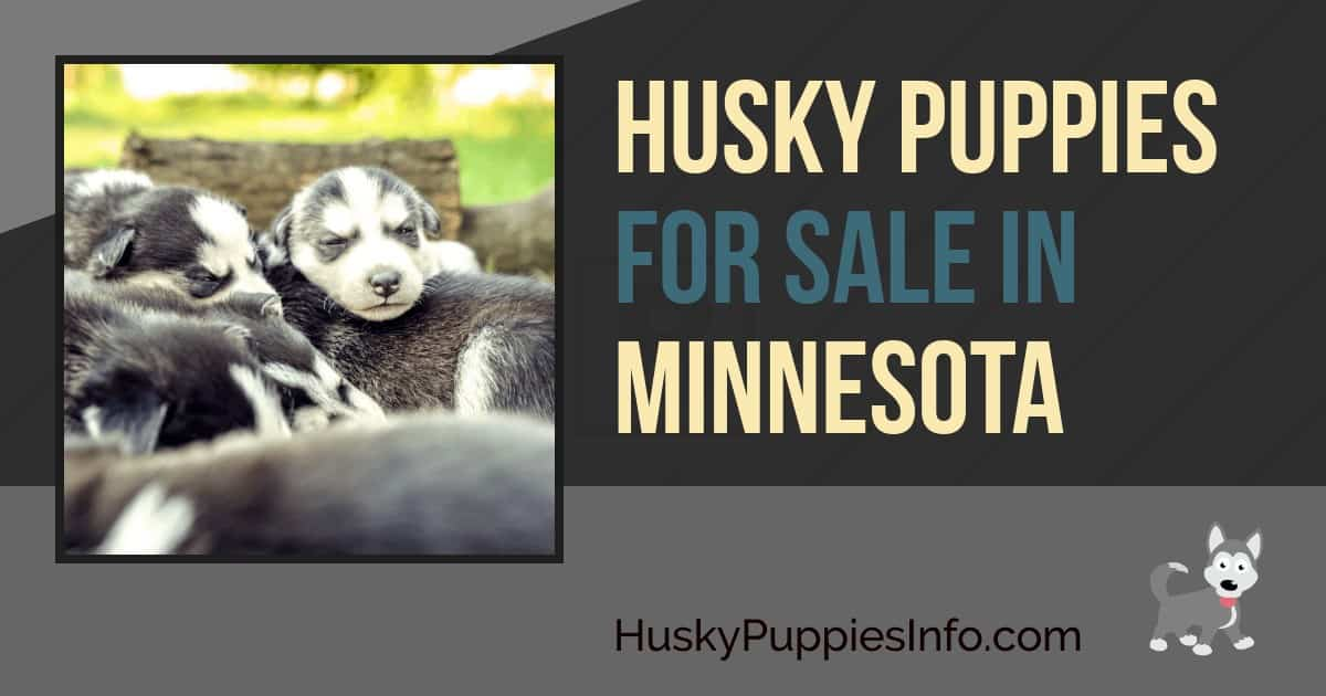 Siberian Husky Puppies For Sale In Minnesota