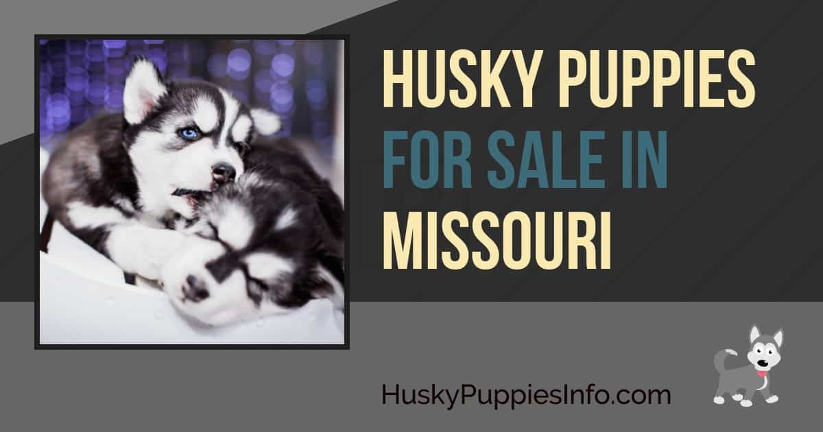 Siberian Husky Puppies For Sale In Missouri