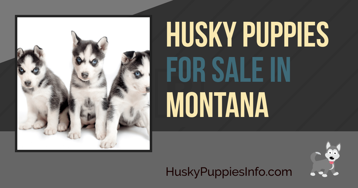 Siberian Husky Puppies For Sale In Montana