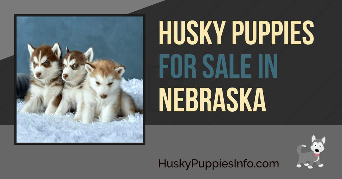 Siberian Husky Puppies For Sale In Nebraska