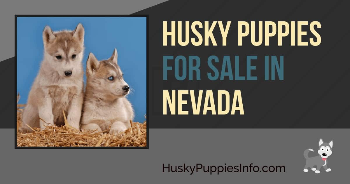 Siberian Husky Puppies For Sale In Nevada