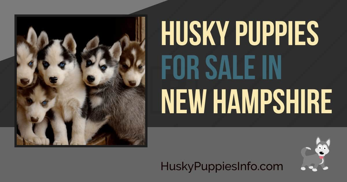 Siberian Husky Puppies For Sale In New Hampshire
