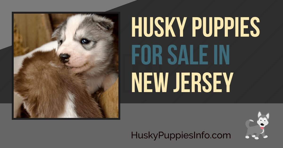 Siberian Husky Puppies For Sale In New Jersey