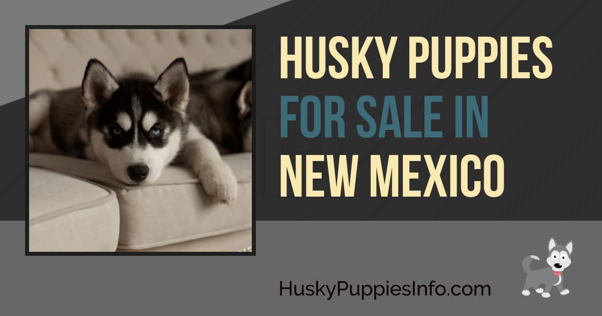 Siberian Husky Puppies For Sale In New Mexico