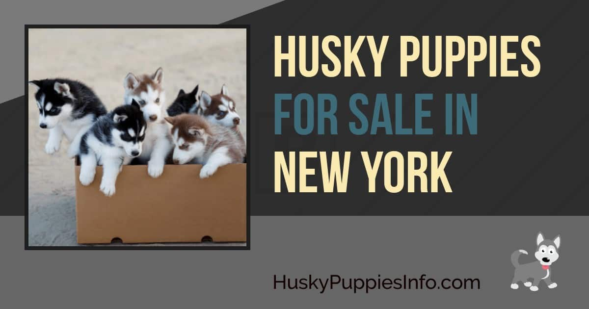 Siberian Husky Puppies For Sale In New York