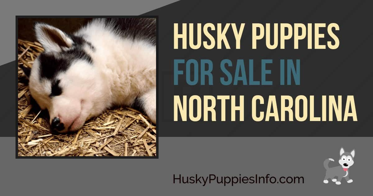 Siberian Husky Puppies For Sale In North Carolina