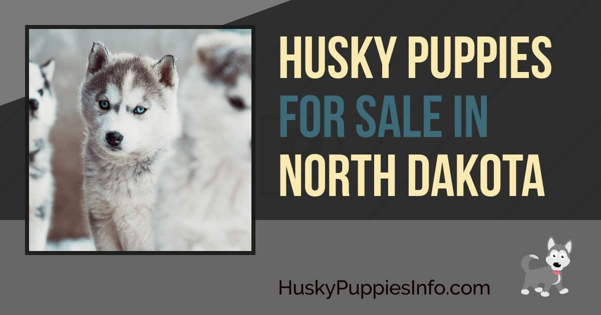 Siberian Husky Puppies For Sale In North Dakota