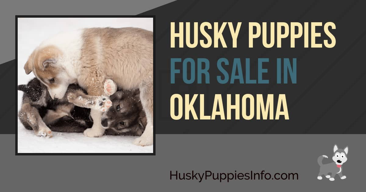 Siberian Husky Puppies For Sale In Oklahoma