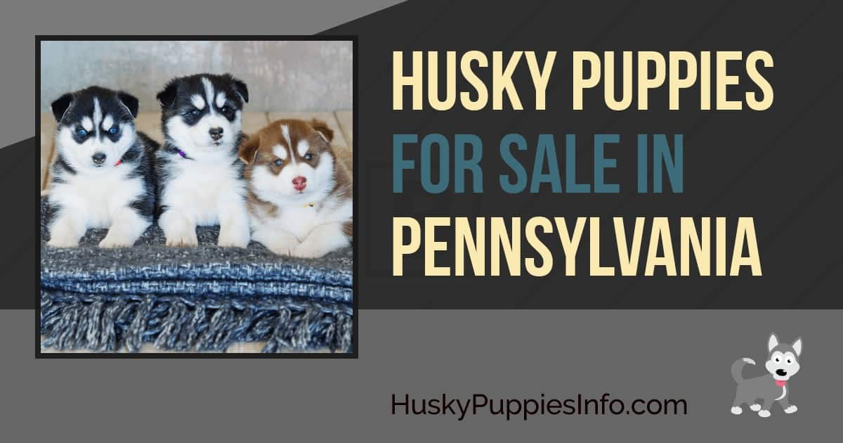 Siberian Husky Puppies For Sale In Pennsylvania