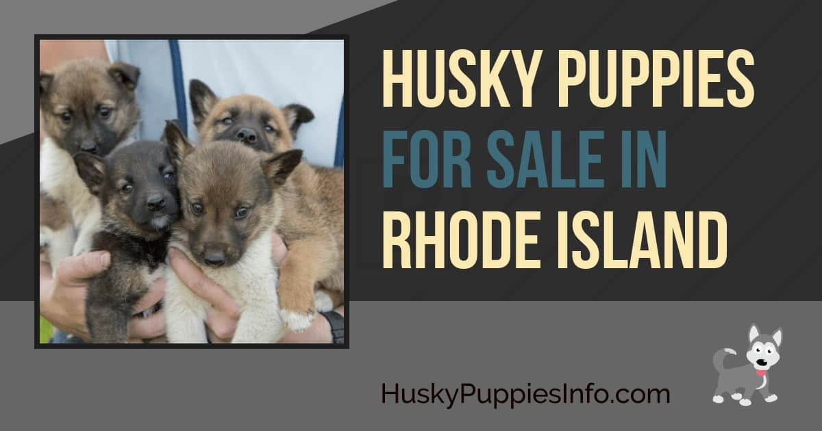Siberian Husky Puppies For Sale In Rhode Island