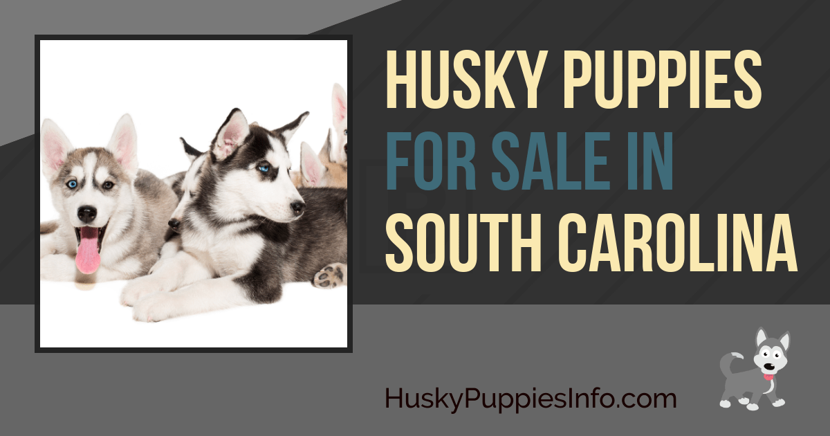 Siberian Husky Puppies For Sale In South Carolina
