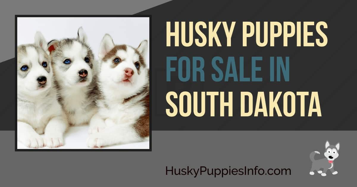 Siberian Husky Puppies For Sale And Breeders In South Dakota Sd