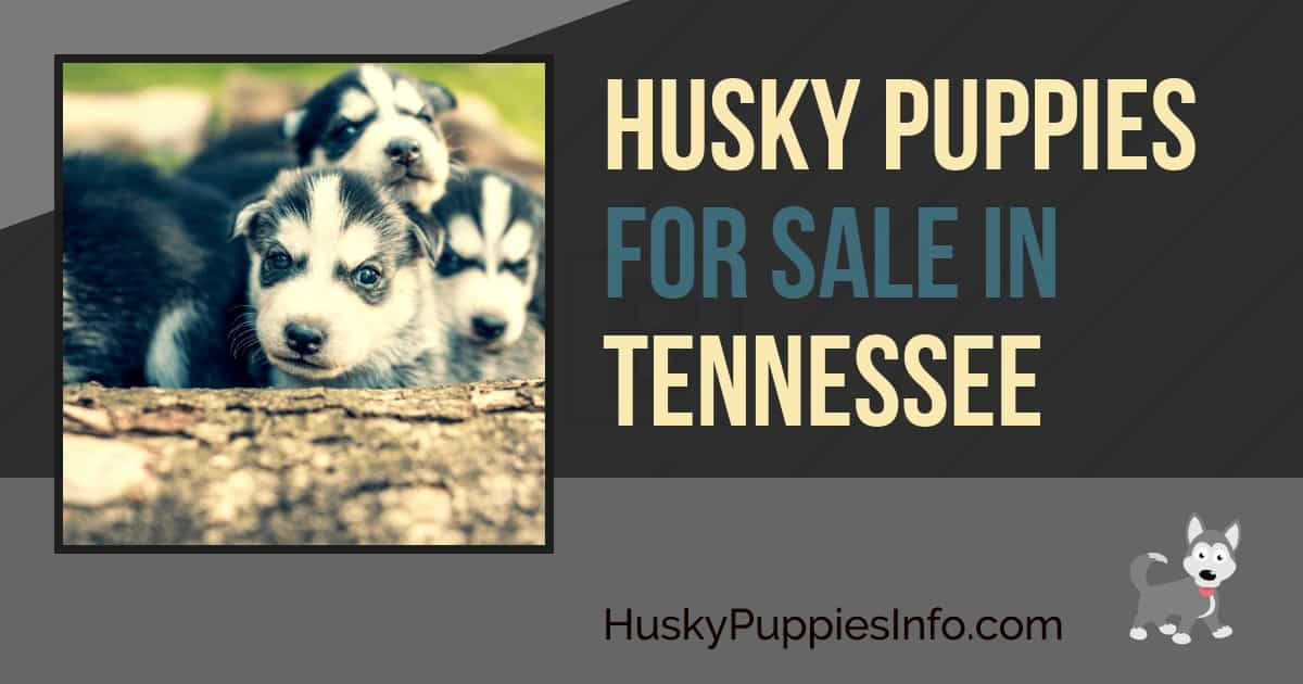 Siberian Husky Puppies For Sale In Tennessee