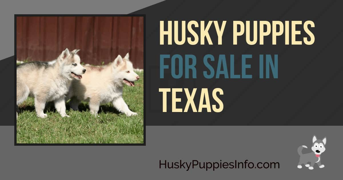 Siberian Husky Puppies For Sale In Texas