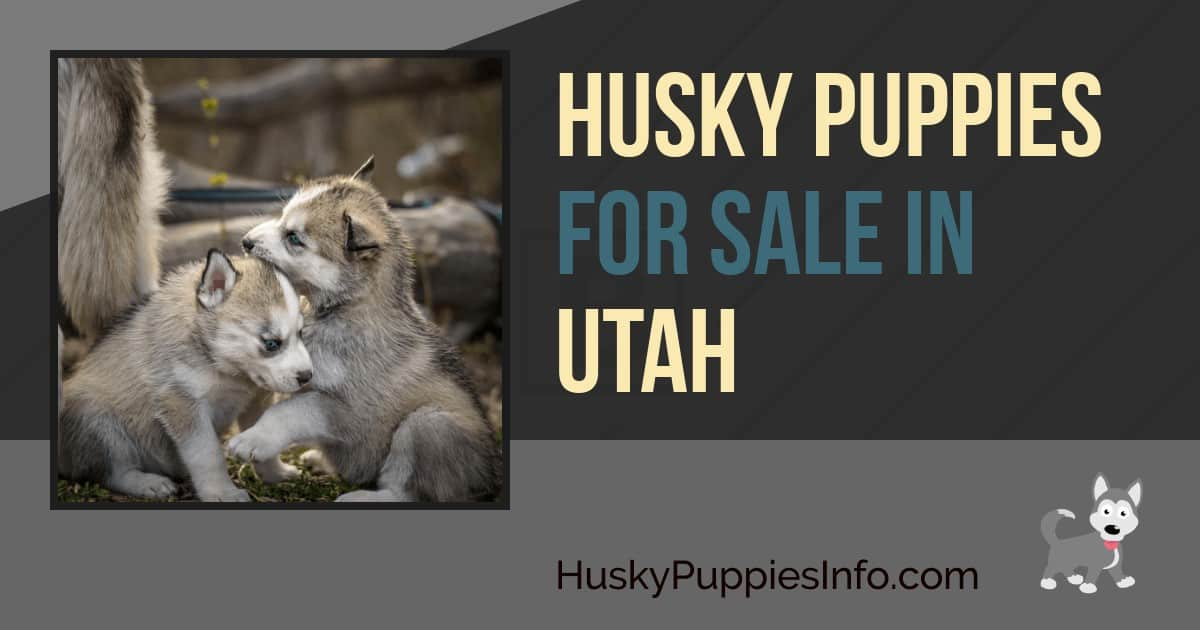 Siberian Husky Puppies For Sale In Utah