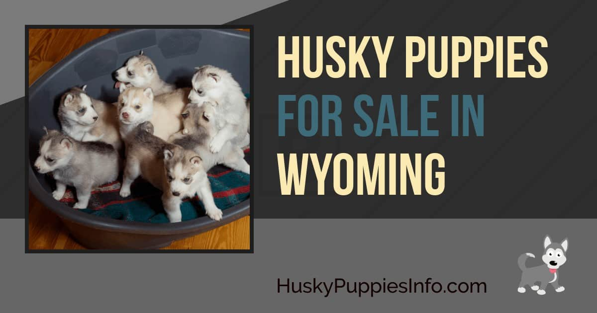 Siberian Husky Puppies For Sale In Wyoming