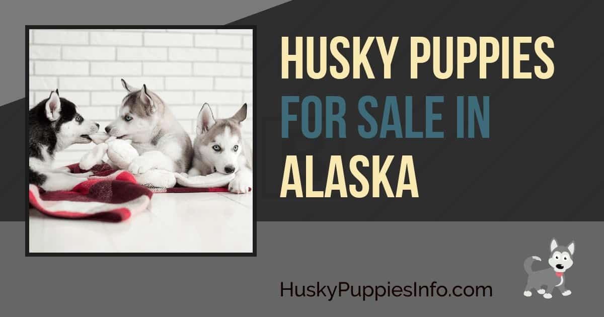 Siberian Husky Puppies For Sale in Alaska