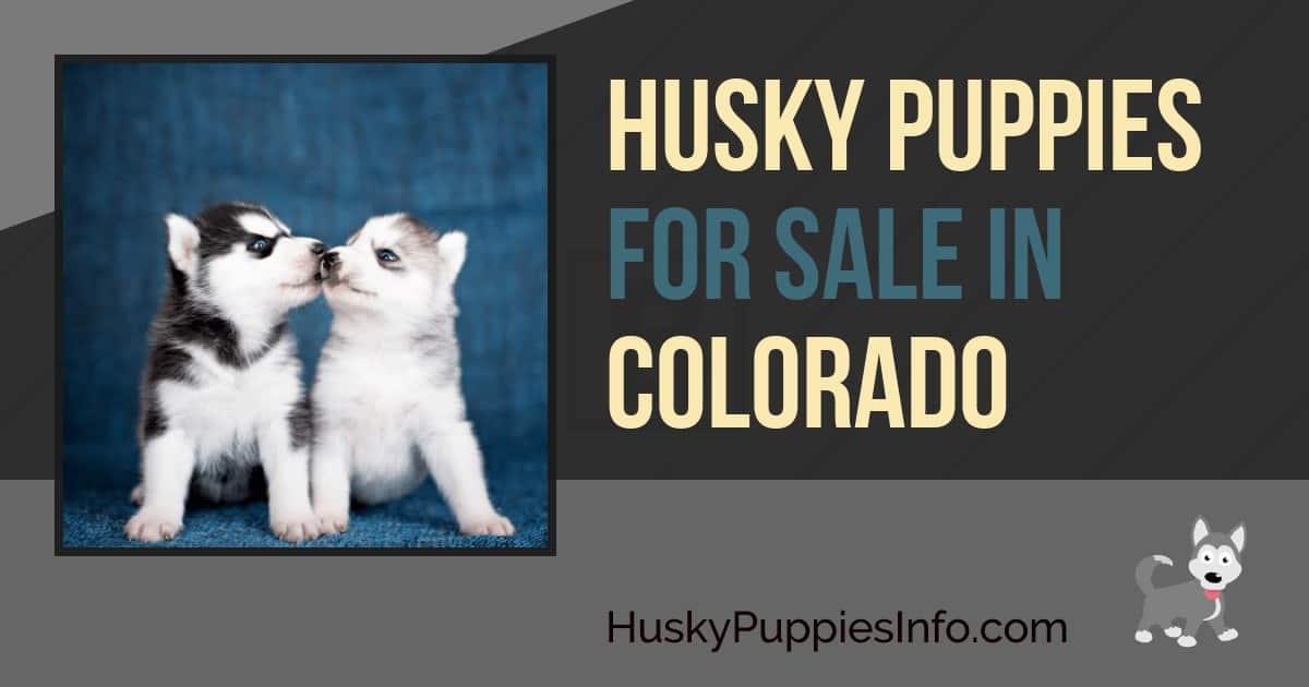 Siberian Husky Puppies For Sale in Colorado