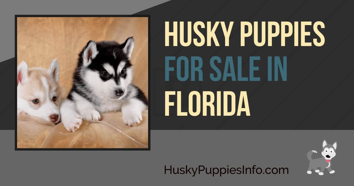 Siberian Husky Puppies For Sale in Florida