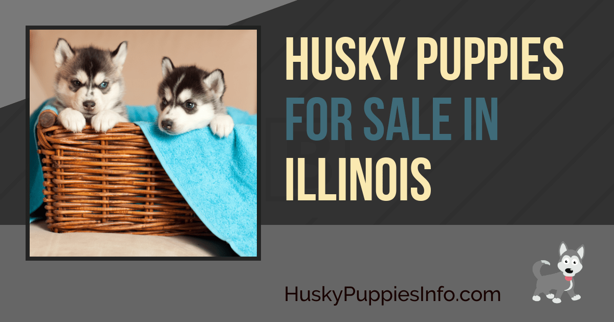 Siberian Husky Puppies For Sale And Breeders In Illinois Il
