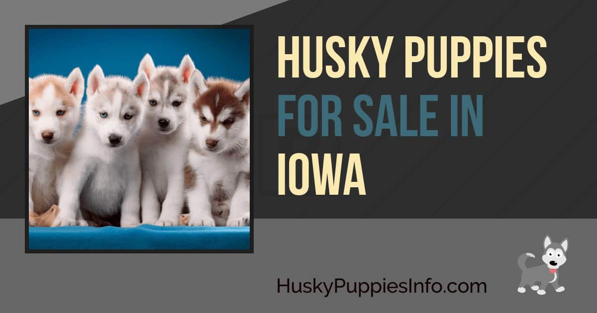 Siberian Husky Puppies For Sale in Iowa