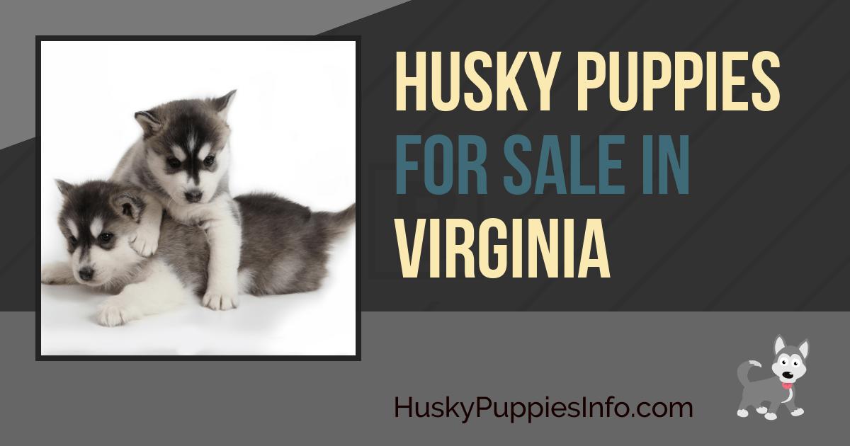 Siberian Husky Puppies For Sale in Virginia