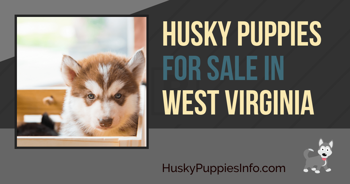 Siberian Husky Puppies For Sale in West Virginia