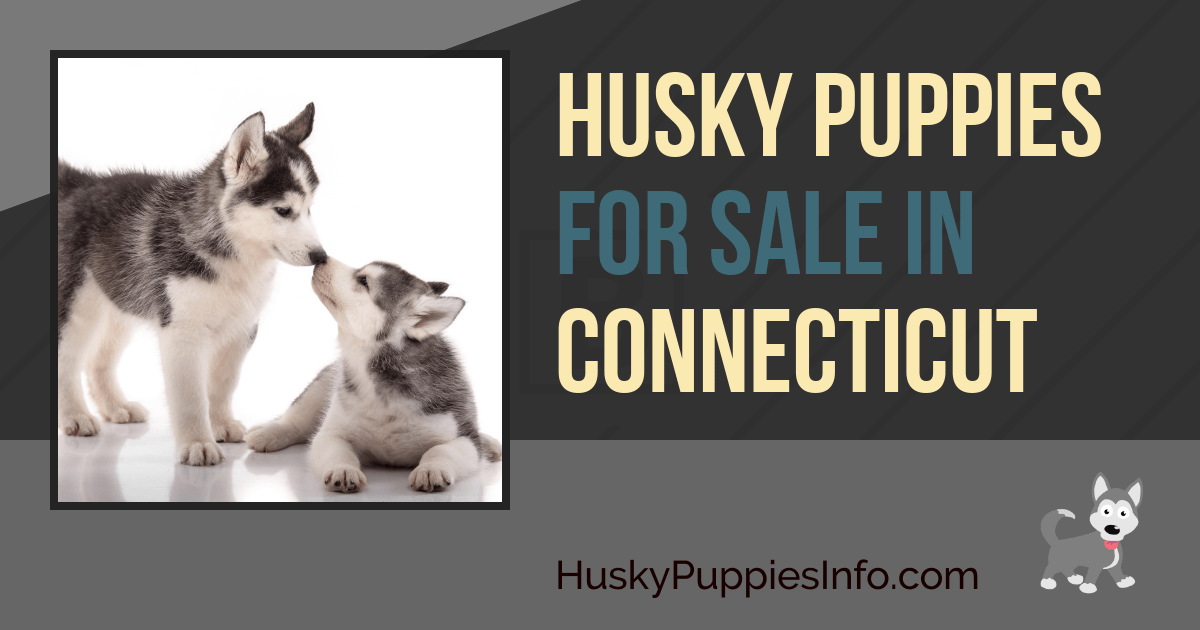 Siberian Husky Puppies for Sale in Connecticut