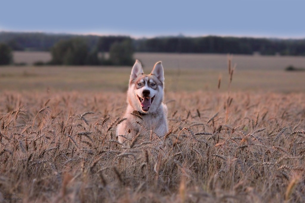 Siberian Husky thriving in nature