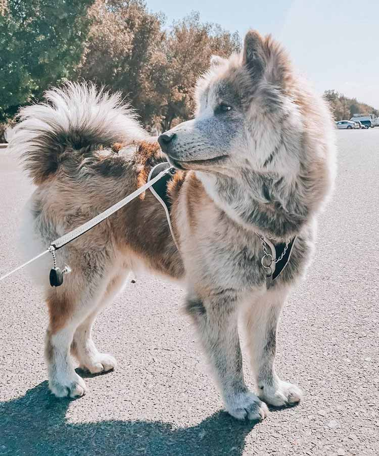 Unique color chow chow husky mix stand on the road outside under the sunlight