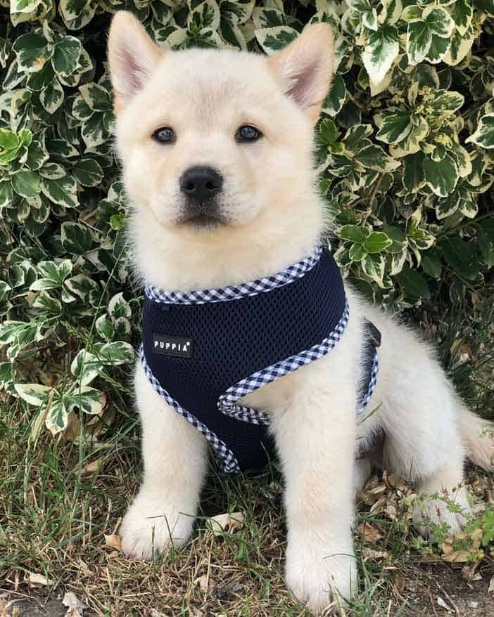 crem color chow chow husky mix puppy wearing harness