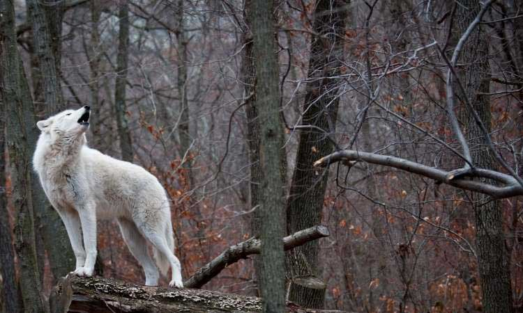 light coated wolf being vocal in the woods
