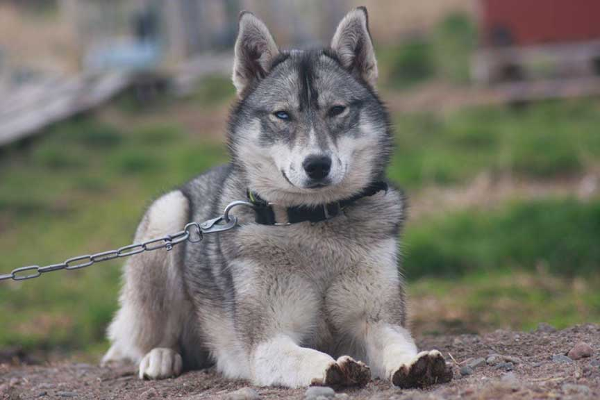 Siberian husky agouti color on the leash lying down on the ground
