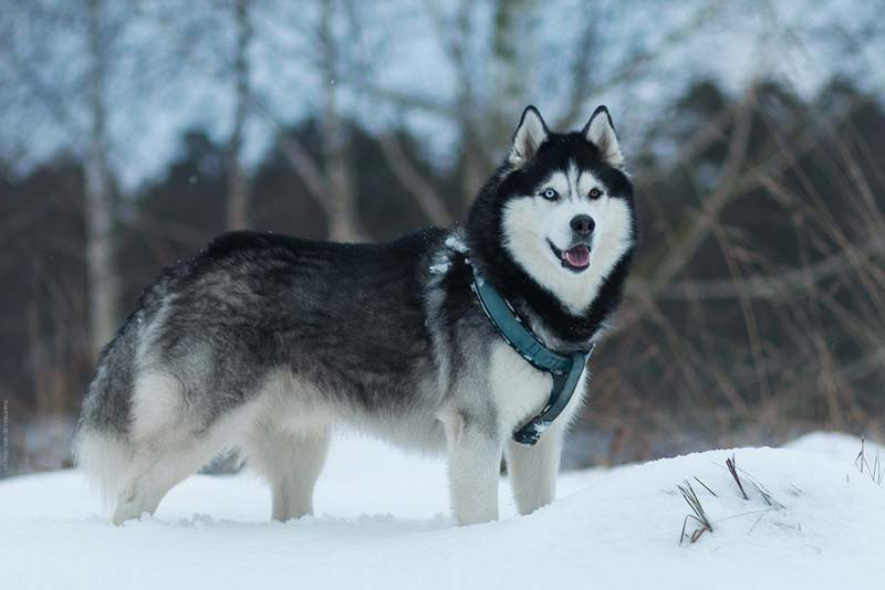 Black and white husky in natural habitat