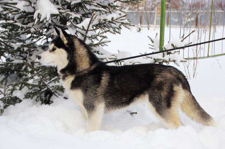 Black, tan and white husky in snow