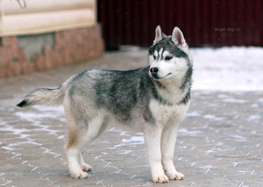 Dark grey almost black husky