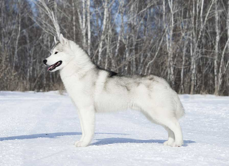 Grey silver husky stand in snow