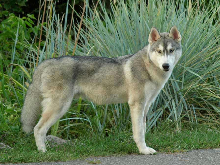 Wolf grey husky standing on the side of the road
