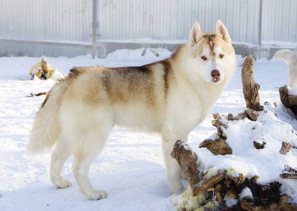 Sable colored husky outside winter time