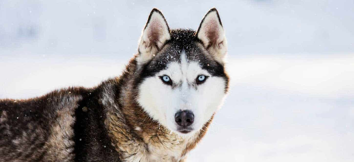 Black tan and white husky with blue eyes