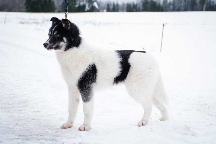 white and black pinto husky in snow