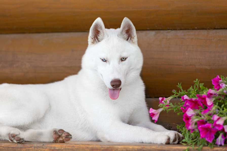 white husky resting next to the flowers