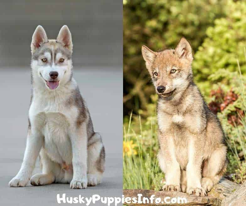 Gray husky puppy onthe right nd wolf puppy on the right. Comparison