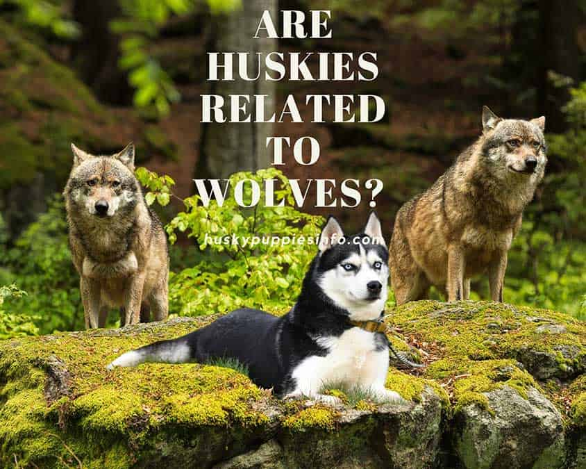 Siberian Husky sitting on the rock in between two wolves