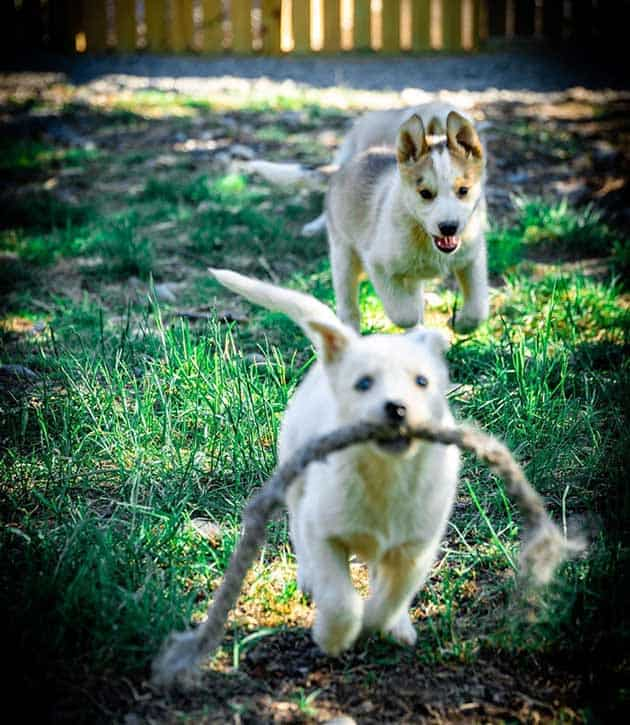 Two husky puppies running and playing with each other
